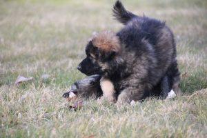 vieux chien de berger allemand
