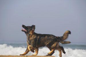 la race altdeutscher schaferhund son standard et son histoire