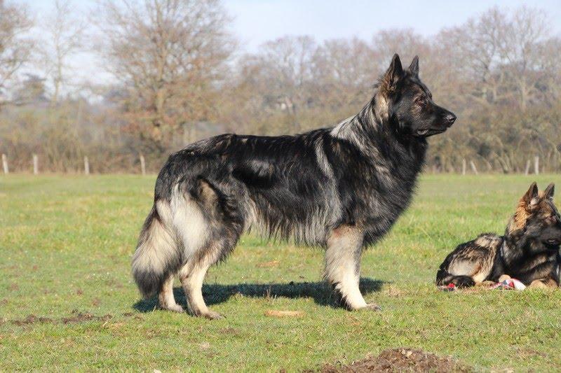 Boss vom Camelot couleur argenté berger allemand poil long