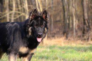 img_1228altdeutscher-schaferhund