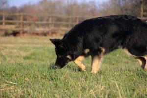 img_1337altdeutscher-schaferhund
