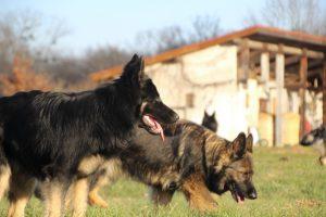 img_1346-altdeutscher-schaferhund