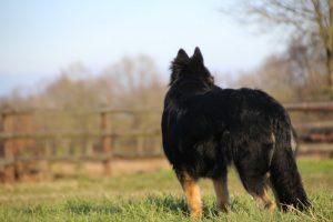 img_1362altdeutscher-schaferhund