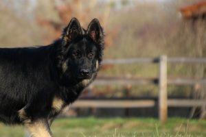img_1365altdeutscher-schaferhund