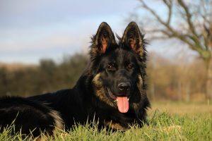 img_1367altdeutscher-schaferhund