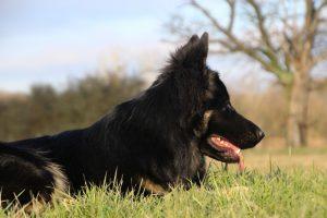 img_1368-altdeutscher-schaferhund