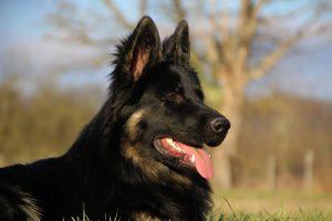 img_1382-altdeutscher-schaferhund