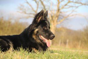 img_1384-altdeutscher-schaferhund