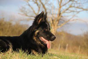img_1385-altdeutscher-schaferhund