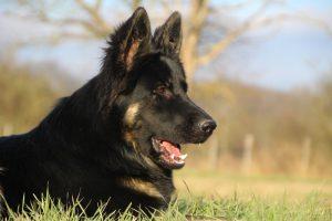 img_1391-altdeutscher-schaferhund