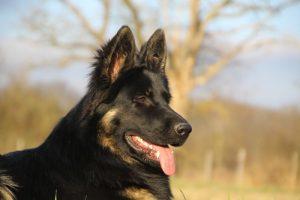 img_1395-altdeutscher-schaferhund