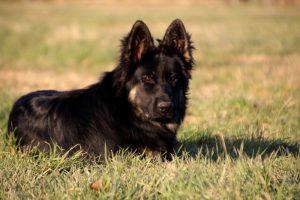 img_1475-altdeutscher-schaferhund