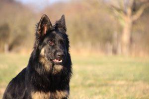 img_1476-altdeutscher-schaferhund