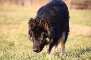img_1480-altdeutscher-schaferhund