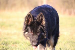 img_1481-altdeutscher-schaferhund