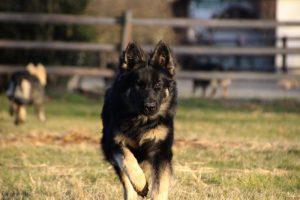 img_1494-altdeutscher-schaferhund