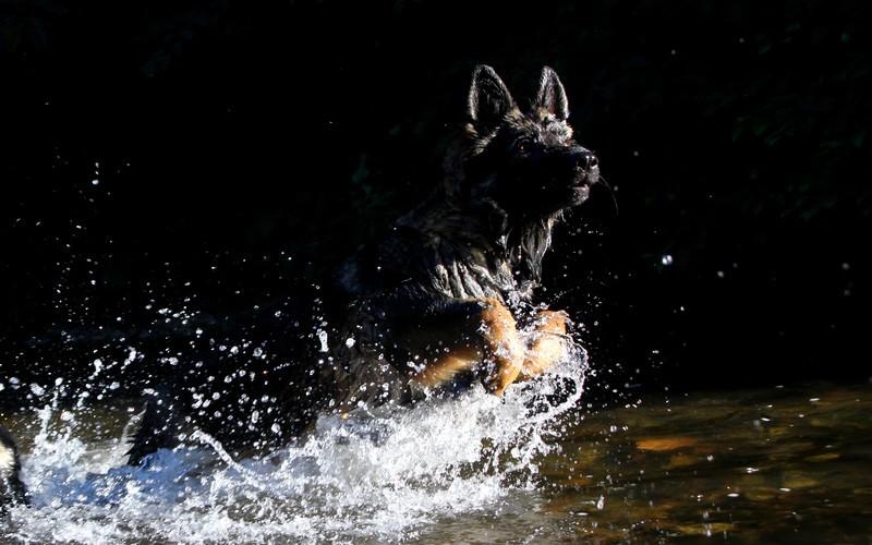 Ice Comme Chiens et Loups altdeutscher schaferhund fauve charbonnée