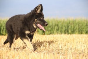 img_8706Oud-duitse herder kennel