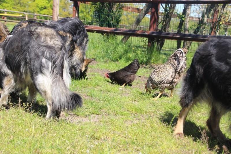 des chiens bergers allemand ancien type élevés en totale liberté
