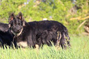 comme-chiens-et-loups 262