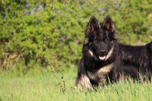 comme-chiens-et-loups 264