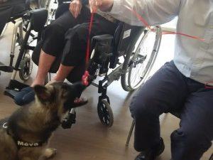 chiots altdeutscher schaferhund argenté