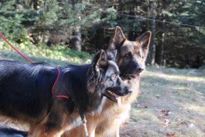 indy altdeutsche schaferhund et wolf berger allemand poil long