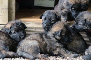 chiot altdeutsche schaferhunde