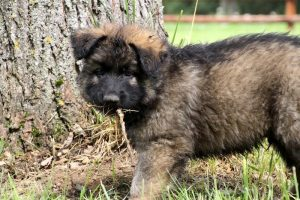 chiots bergers allemand ancien type