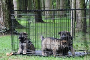 altdeutsche-schaferhunde-003