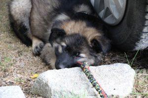 altdeutsche-schaferhunde-011