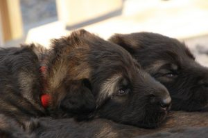 altdeutsche-schaferhunde-011-rouge