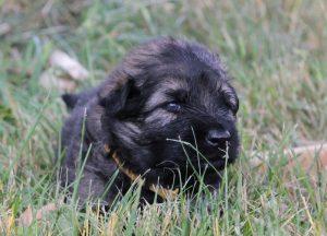 altdeutsche-schaferhunde-016