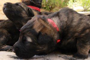 altdeutsche-schaferhunde-025-rouge