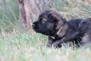 altdeutsche-schaferhunde-028