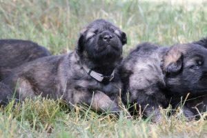 altdeutsche-schaferhunde-053