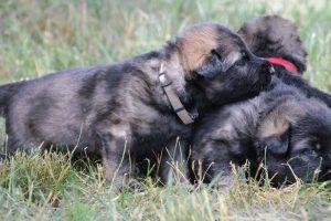 altdeutsche-schaferhunde-054