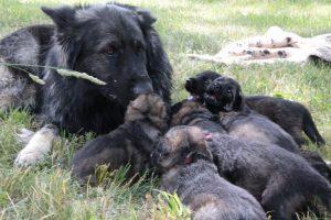altdeutsche-schaferhunde-079