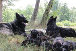 altdeutsche-schaferhunde-088