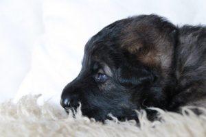 altdeutsche-schaferhunde-147