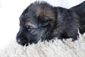 altdeutsche-schaferhunde-184