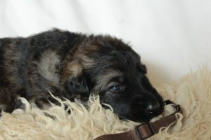 altdeutsche-schaferhunde-218