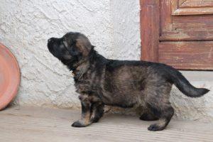 altdeutsche-schaferhunde-259appellent-bis