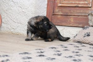 altdeutsche-schaferhunde-260appellent-ter