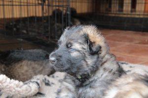 altdeutsche-schaferhunde-299ceux-qui-disent-que