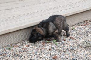 altdeutsche-schaferhunde-314celle-qui-a-ose-ter