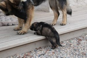 altdeutsche-schaferhunde-317celle-qui-a-ose-6