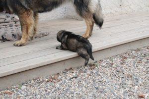 altdeutsche-schaferhunde-318celle-qui-a-ose-7