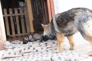 altdeutsche-schaferhunde-321celle-qui-a-ose-9