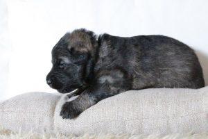 altdeutsche-schaferhunde-360